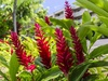 Red Ginger at Kuhio Shores