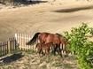 Wild Horses in Yard